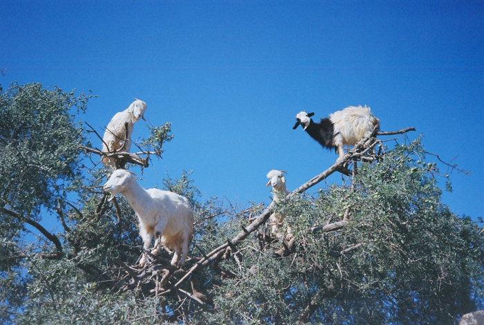 About Goats and Women in Oil Production